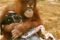 Orangutang och hund