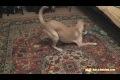 Hund jagar sin svans!