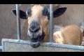 Funny goatsound - VAKNA! med the Voice