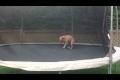 Hund gillar trampolin