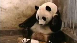 Nysande panda