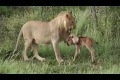 Leo protects calf wildebeest