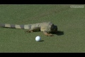 Iguana attackerar golfboll