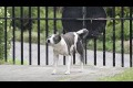 Street dog acrobat