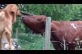 Calf tenderness