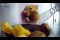 Insidan av en hamsters mun